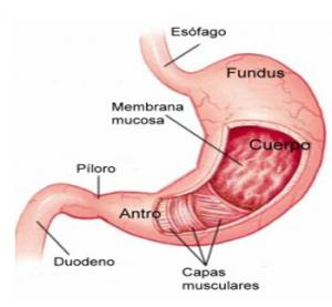 explicación gráfica de las partes del estómago